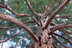 Takken en boomstam van Sequoia Gigantea Stock Fotografie