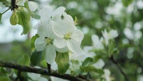 Takken met bloemen van Apple-bomen die in de wind slingeren stock videobeelden