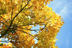 Takken met gele bladeren en blauwe hemel Stock Fotografie