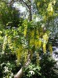 Takken met gele bloemen van de boom Gouden Ketting van Laburnumanagyroides of Gouden Regen royalty-vrije stock foto's