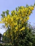 Takken met gele bloemen van de boom Gouden Ketting van Laburnumanagyroides of Gouden Regen tegen blauwe hemel stock afbeelding
