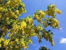 Takken met gele bloemen van de boom Gouden Ketting van Laburnumanagyroides of Gouden Regen tegen blauwe hemel stock foto's