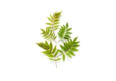 Takken met groene bladeren Stock Foto