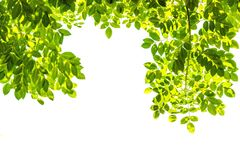 Takken met groene geïsoleerde bladeren Stock Fotografie