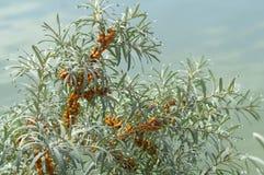 Takken met heldere oranje bessen van duindoorn worden behandeld die royalty-vrije stock foto