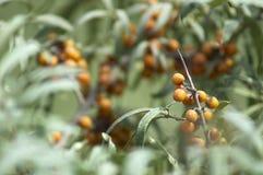 Takken met heldere oranje bessen van duindoorn worden behandeld die royalty-vrije stock foto's