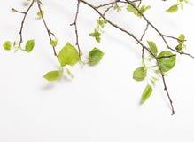 Takken met jonge verse de lente groene bladeren Stock Foto's