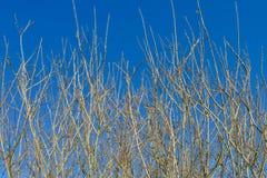 Takken met knoppen op een achtergrond van blauwe hemel Stock Fotografie