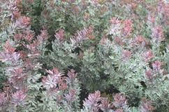 Takken met talrijke groenachtig blauw met roze bladeren van tropisch t stock foto