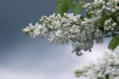 Takken met witte lilac bloemen en groen bladerenclose-up tegen de grijze hemel royalty-vrije stock foto