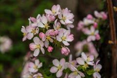Takken roze bloem stock afbeeldingen