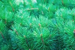 Takken van altijdgroene pijnboom met kleine kegels in het stadspark stock foto's