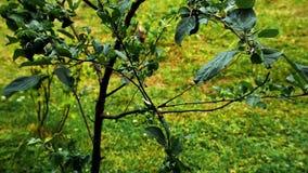Takken van appelen in de stortbui stock footage