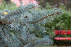 Takken van blauwe sparren op parkachtergrond Pluizige Kerstmis RT Royalty-vrije Stock Foto's
