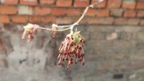 Takken van bloeiende bomen stock videobeelden