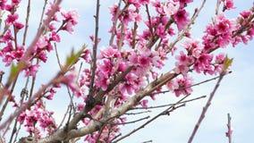 Takken van bloeiende fruitboom stock footage