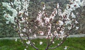 Takken van bloeiende kers op de achtergrond van een grijze muur stock fotografie