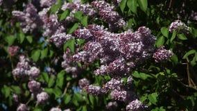 Takken van bloeiende lilac sering op een zonnige dag stock video