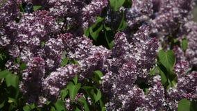 Takken van bloeiende lilac sering op een zonnige dag stock videobeelden