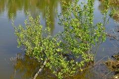 Takken van bomen in het moeras stock foto