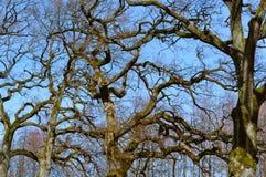 Takken van bomen zonder bladeren tegen blauwe hemel, bomen in de winter en de herfst tegen blauwe hemel Stock Foto