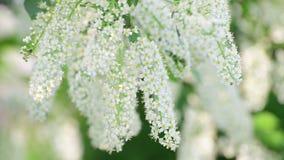 Takken van de bloeiende boom van de vogelkers met witte bloemen stock video