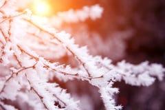 Takken van de close-up de sneeuw behandelde boom vorst, sneeuwstorm, blizzard Zonlicht bij zonsondergang royalty-vrije stock fotografie