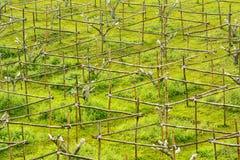 Takken van de de perenboom van de bamboestam de ondersteunende Royalty-vrije Stock Afbeeldingen