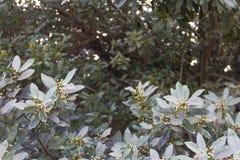 Takken van de laurierboom van de organische tuin Royalty-vrije Stock Afbeeldingen