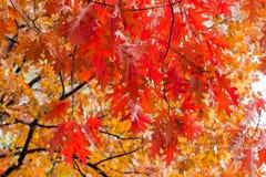 Takken van de rode eik met de herfstbladeren royalty-vrije stock afbeeldingen