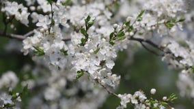 Takken van de tot bloei komende kers stock footage