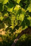 Takken van druiven stock fotografie