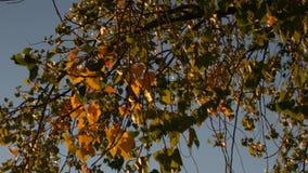 Takken van een berkboom in de herfst in de avond zon stock videobeelden