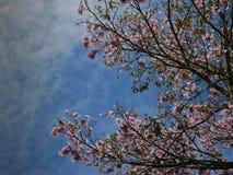 Takken van een boom rooskleurige trompet met roze bloemen over een bewolkte blauwe hemel in de ochtend stock fotografie