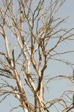 Takken van een droge boom tegen de hemel in de zomer royalty-vrije stock afbeelding
