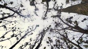 Takken van een Een eeuw oude Boom tegen een Hemel De krachtige Takken verbergen de Hemel Zwarte Stevige Schors Heel wat klein stock footage