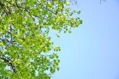 Takken van een groene boom tegen de hemel stock afbeeldingen