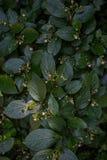 Takken van een groene struik Stock Foto