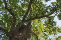 Takken van een grote 500 éénjarigen eiken boom royalty-vrije stock fotografie