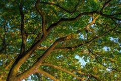 Takken van een grote groene eiken boom in de vroege herfst op een duidelijk blauw Royalty-vrije Stock Afbeelding