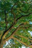 Takken van een grote groene eiken boom in de vroege herfst op een duidelijk blauw Stock Afbeelding