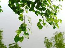 Takken van een heilige fig. of Ficusreligiosa Royalty-vrije Stock Foto