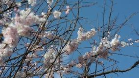 Takken van een het tot bloei komen slingering van appelbomen in de wind stock video