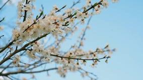 Takken van een het tot bloei komen slingering van appelbomen in de wind stock footage