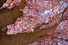 Takken van een Japanse pruimboom met heldere roze bloemen in een park in Zaragoza, Spanje royalty-vrije stock afbeelding