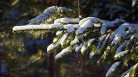 Takken van een Kerstboom die met achtergrond van de sneeuw de natuurlijke nette winter wordt behandeld Rusland Stock Fotografie