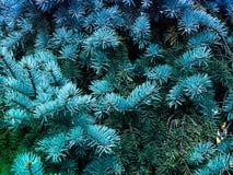 Takken van een naaldboom de geur van Kerstmis stock afbeeldingen