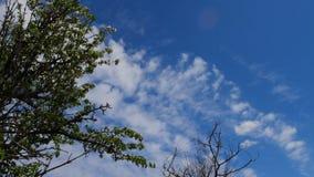 Takken van een oude boom tegen een blauwe hemel stock videobeelden