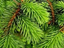 Takken van een pijnboom Stock Foto