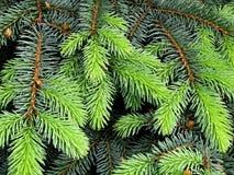 Takken van een pijnboom Royalty-vrije Stock Fotografie
